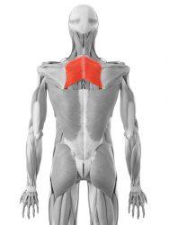 rombasta mišica