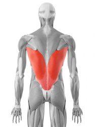 široka hrbtna mišica