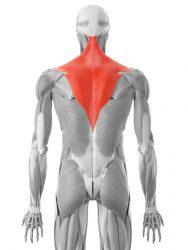 trapezasta mišica
