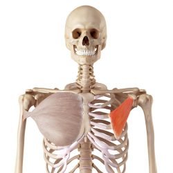 Mala prsna mišica