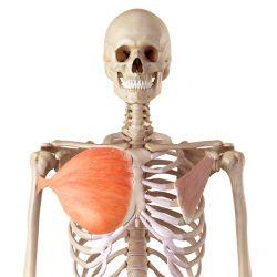 Velika prsna mišica