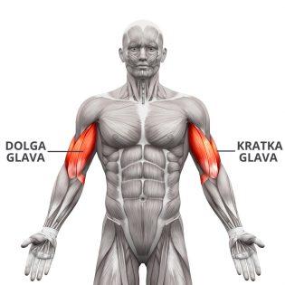 mišica biceps