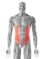 poševna trebušna mišica