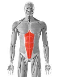 prema trebušna mišica